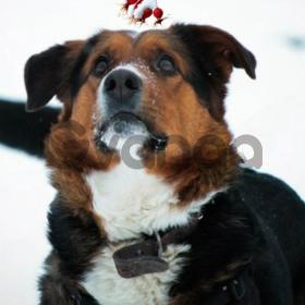 Машуня шикарная собака метис зенненхунда