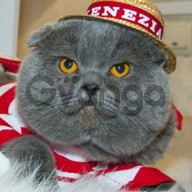 Шотландские котята Одесса