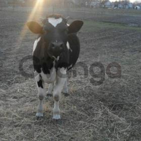 Телица на корову