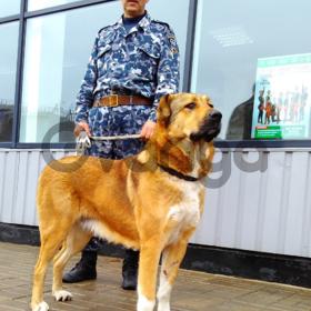 продам щенков Среднеазиатской овчарки Алабай