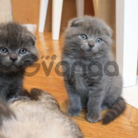 Продам котят шотландцы фолд и страйт