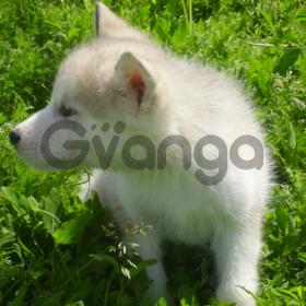 Продам щенков Аляскинского Маламута