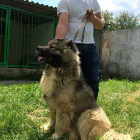 На продаже молодой супер кобель кавказской овчарки