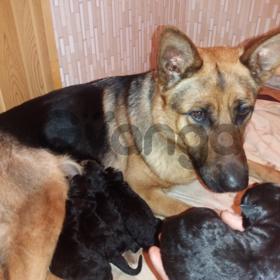 Продам щенков чистокровной немецкой овчарки