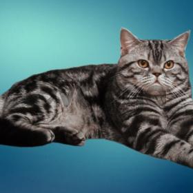 Котята от чемпиона породы