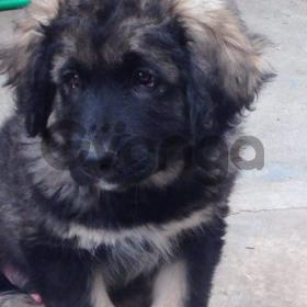Продам высокопородных щенят кавказской овчарки