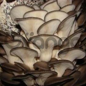 Вешенки устричной семена (мицелий)