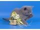 Шотландские короткошерстные  котята (scottish fold & scottish straight)