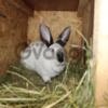 Кролики на племя Бровары (бургунци,фландр,серебро).
