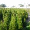 Декоратиные растения
