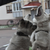 племенной питомник Сибирской Хаски предлагает 2 мес щенков