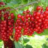 Продам саженцы красной смородины (поричка)