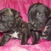 Щенки кане-корсо черного и тигрового окраса