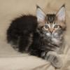 продам котенка мейн-куна