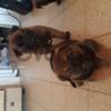 бельгийские сбаки