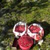 Сбор ягод в Швеции