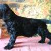 Алиментный щенок ризеншнауцера