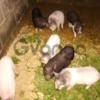 Продам вьетнамские свиньи