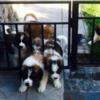 Продам щенков сенбернара