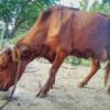 Продається Червона степова Корова