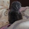 Продаем Шотландских вислоухих котят