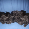 Крупные щенки кане косо