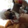 Продам щенков чихуахуа