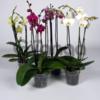 Доставим и подарим комнатные цветы