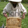 Продам пчел - пчелиную семью