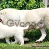 Мареммо-абруццкая овчарка, щенки!