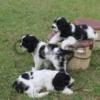 Продаются щенки американского кокер спаниеля