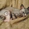 Прекрасные котята Канадского сфинкса