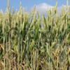 Закупаем зерновые