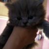 Продаються замечательные кошкадети