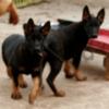 Немецкой овчарки щенков