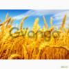 Компания закупает зерновые и масличные культуры