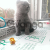 Котенок (Scottish-Fold) мальчик
