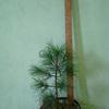 Продам саженцы сибирского кедра с закрытой корневой системой