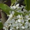 саженцы плодовых деревьев оптом