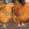 Цыплята, гусята, индюшата, утята