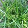 Чуфа. Земляной миндаль.(Семена).1 кг. Урожай 2016 года