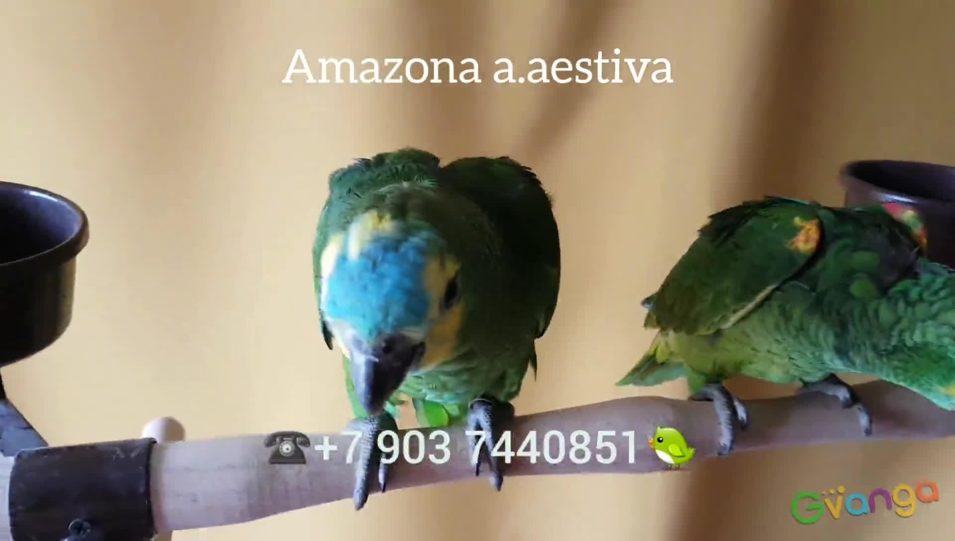 Амазоны - ручные птенцы из питомников Европы