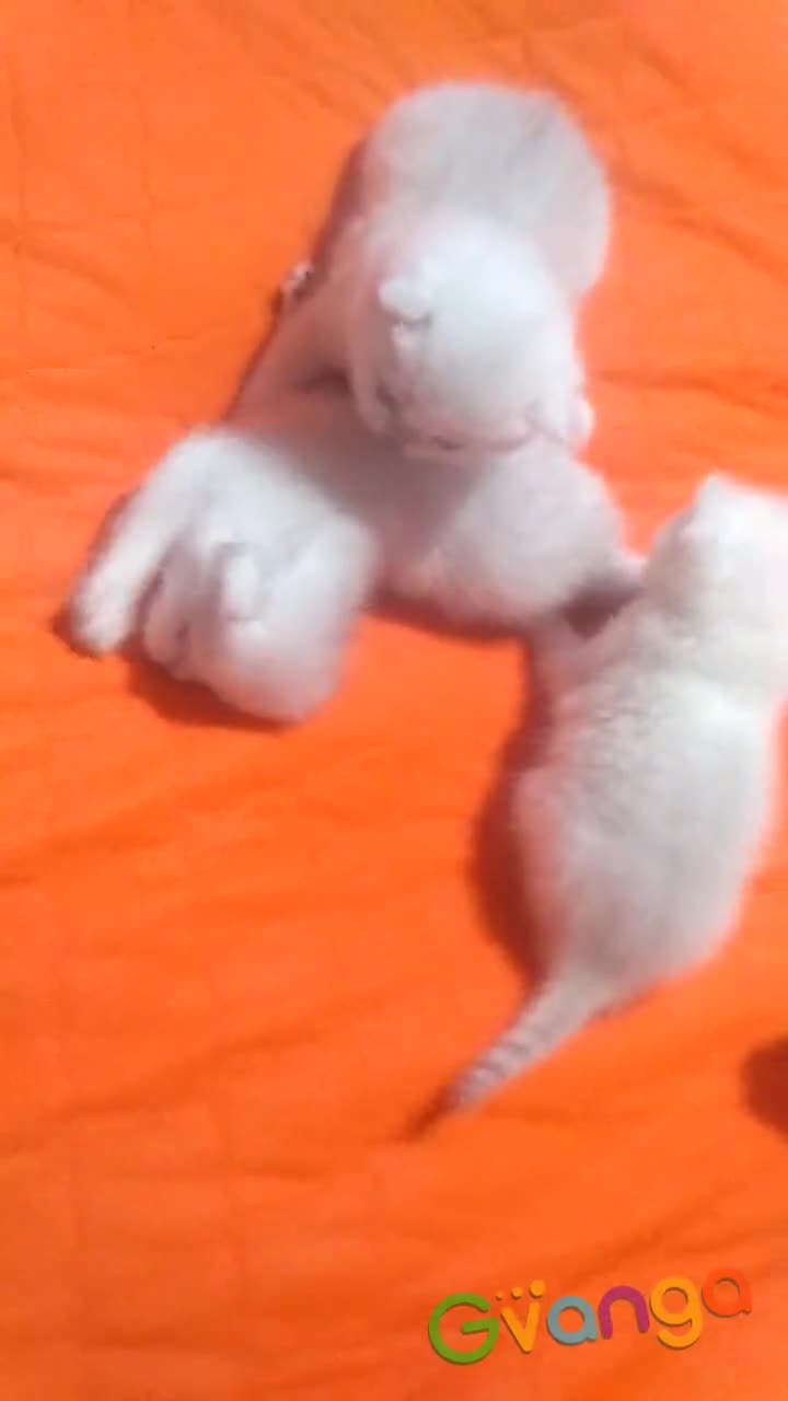 продам котенка британской серебристой шиншиллы
